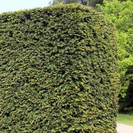 Taxus planten stap 4: Bodemverbeteraar vermengen